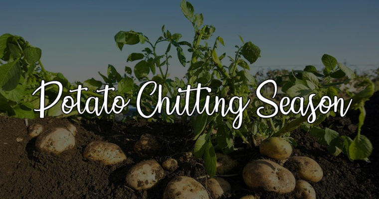 Our guide to planting potatoes this February and March