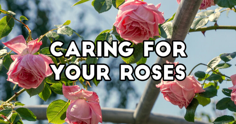 Our guide to keeping your Roses healthy!