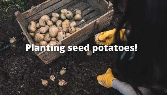 Planting your seed potatoes!
